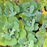 Water lettuce plant