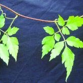 Balloon vine leaves