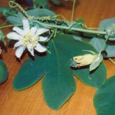 White passion fruit flower and leaves