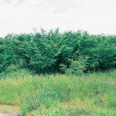 Mimosa bush infestation
