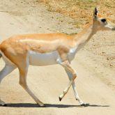 Blackbuck antelope female