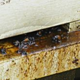Small hive beetle slime in hive