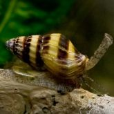 An assassin snail which is typified by a brown and yellow-striped turbid shell and long proboscis, attached to driftwood in an aquarium.