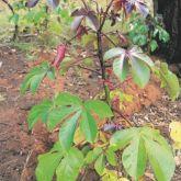 Bellyache bush plant