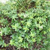 Japanese honeysuckle plant