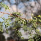 Mimosa bush leaves and spikes