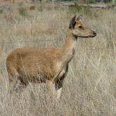 Feral rusa deer