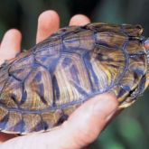 Red-eared slider in hand