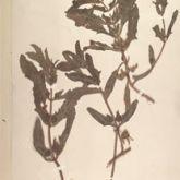 Annual thunbergia
