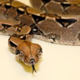 Boa constrictor close-up