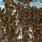 Asian honey bees on comb