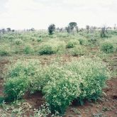 Parthenium infestation