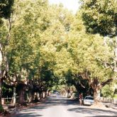 Camphor laurel infestation along roadside