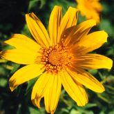 Japanese sunflower flower