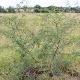 Mimosa bush plant form