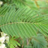 White ball acacia leaves