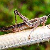Spur-throated locust