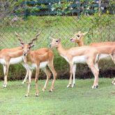 Blackbuck antelope young male
