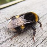 Large earth bumblebee rear view