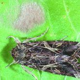 Brown caterpillar moth on leaf
