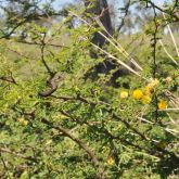 Mimosa bush plant with flowers and pods