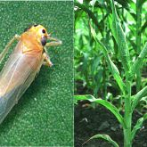 Maize leafhopper with affected plants showing dark green, thickened leaf veins and distorted leaves