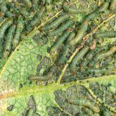 A group of greenish caterpillars feeding on a leaf