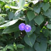 Blue morning glory flowers and leaves
