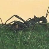 Dark ant-like bug