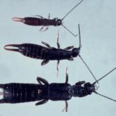 Black field earwigs
