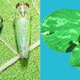 Leafhopper insects and tiny pale dots on leaves