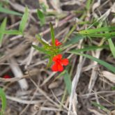 Red witchweed flowers