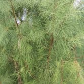 Athel pine stems and leaves