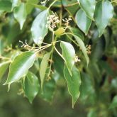 Camphor laurel flowers