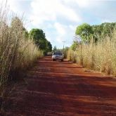 Gamba grass roadside infestation
