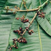 Miconia fruit pannicle