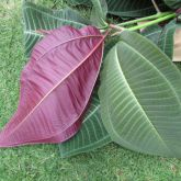 Miconia top and underside of leaves