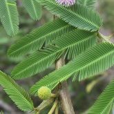 Mimosa pigra flower, leaves and stem