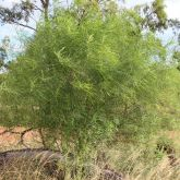 Parkinsonia plant not in flower