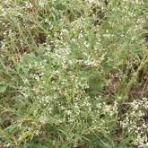 Parthenium plant with flowers