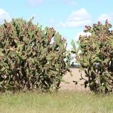 Prickly pear infestation